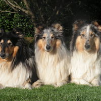 Logo collies of amandelinda
