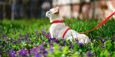 Comment promener son chat en laisse?