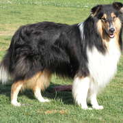 Collie à poil long